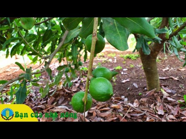 Những kỹ thuật cơ bản trông trồng và chăm sóc cây Mắc Ca