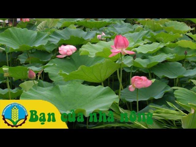 Kỹ thuật trồng và chăm sóc hoa sen trong ruộng, ao, hồ