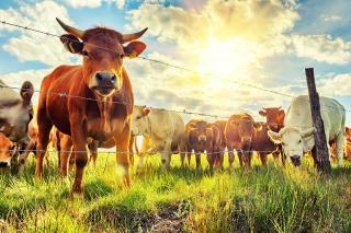 Chăn nuôi