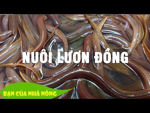 Nuôi Lươn Đồng thương phẩm tại nhà - Hướng đi thoát nghèo cho nông dân ít đất