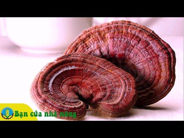 Phương pháp trồng và chăm sóc nấm Linh chi đỏ mang lại hiệu quả kinh tế cao