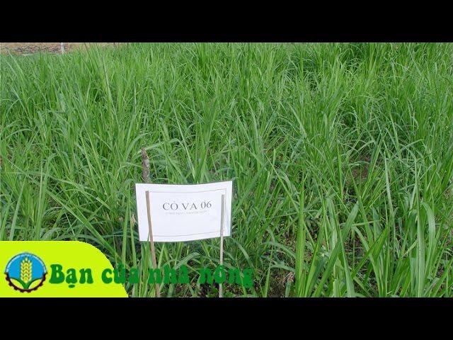 Kinh nghiệm xây dựng mô hình trồng cỏ VA06 hiệu quả kinh tế cao