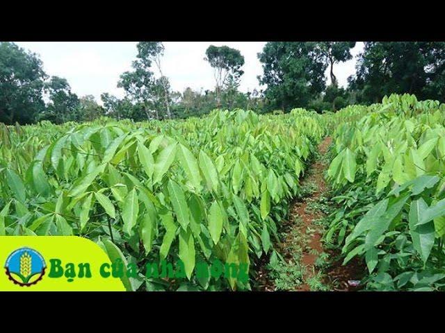 Kinh nghiệm, kỹ thuật trồng và chăm sóc cây cao su theo công nghệ mới