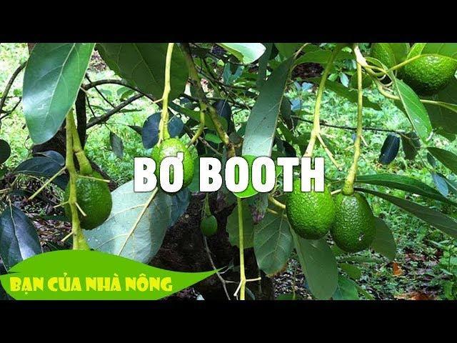 Kinh nghiệm hữu ích khi chăm sóc cây Bơ Booth giai đoạn trái non