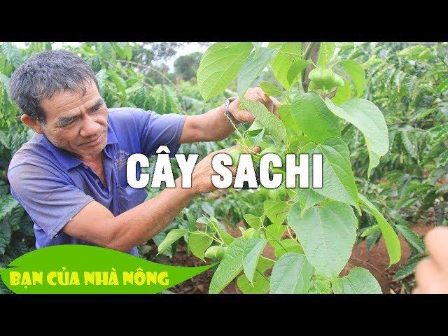 """Mô hình trồng cây """"Tỷ Đô"""" - Cây Sachi / Bà con nên tham khảo nhé"""
