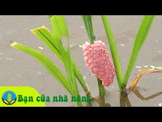 Kỹ thuật phòng và trị ốc bươu vàng hại lúa hiệu quả