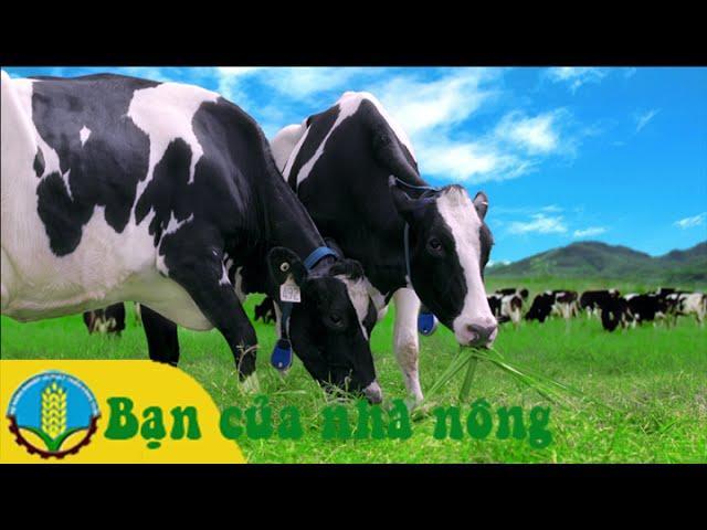Kỹ thuật quản lý và chăm sóc bò sữa sinh sản