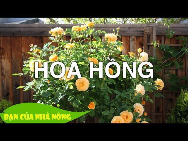 Kỹ thuật chăm sóc hoa hồng thân gỗ thành công đầu tiên tại Việt Nam