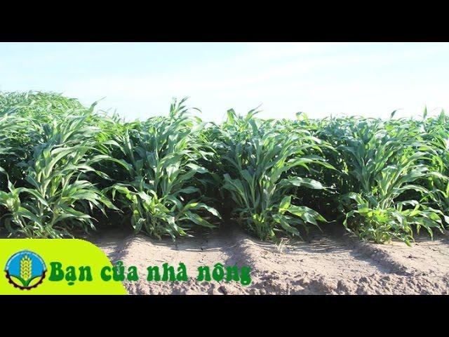 Kỹ thuật trồng và chăm sóc cỏ cao sản vào mùa khô