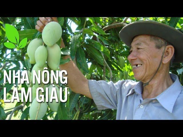 Kinh nghiệm chăm sóc cây xoài Đài Loan theo VietGAP