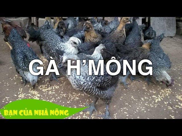 Trở thành Triệu Phú với Mô hình nuôi gà Hmông đem lại hiệu quả kinh tế cao