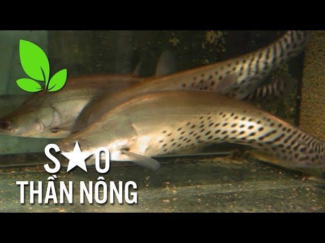 Thu tiền tỷ từ mô hình nuôi cá nàng hai - Sao thần nông