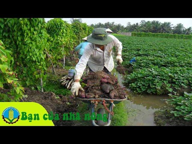 Kinh nghiệm, kỹ thuật trồng và chăm sóc cây khoai mỡ