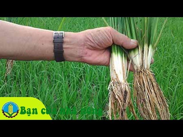 Giải pháp khắc phục triệt để hiện tượng lúa bị ngộ độc phèn